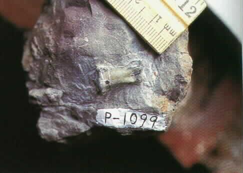 fósil2.jpg